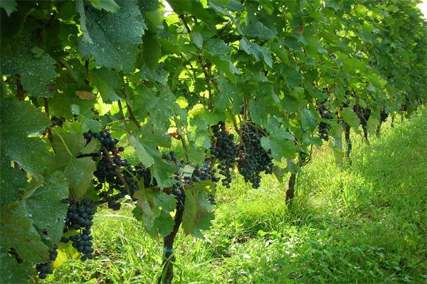 ヴィラデストの葡萄畑